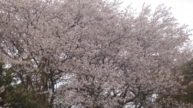 2016.04.06-桜